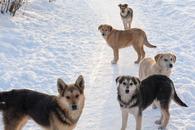 Агентство по ветеринарии: держите собак на поводках!